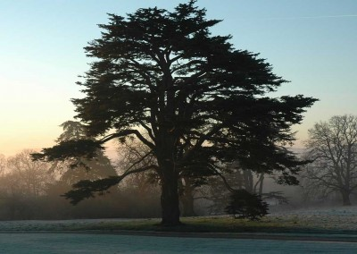 One of our Lebanese Cedars